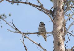 Chouetrte pervire- Hawk owl- Surnia ulula- Vilhelmina june 14 (Morgan Boch) Tags: nature birds landscape nikon sweden grand raptor sverige scandinavia printemps espace oiseaux sude fagel scandinavie d300s dagimaj morganboch