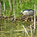 ONTARIO-00351 - Black-crowned Night-Heron