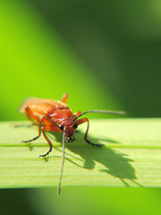 Cardinal or Soldier Beetle? (Stu Knowler) Tags: macro devon wildgarden welcombe canong12