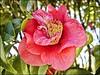 Camélia Vermelha (Mazé Parchen) Tags: natureza flor jardim camellia camélia theaceae florvermelha mazé japoneira caméliavermelha rosadojapão mazéparchen