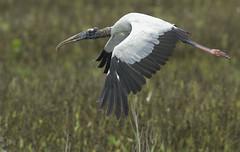 Wood Stork... (Randy E. Crisp) Tags: macro birds canon landscape dallas nikon texas wildlife flash 14 100mm irving 16 20 fullframe 13 corsicana extender 400mm northtexas 550d 1d4 560mm t2i richlandchambers 5d2 5dii 1dmkiv 1dmk4 rcwma randyecrispphotography randycrisp randyecrisp