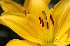 lily lafleur (Mitchell Haindfield) Tags: summer sun flower macro yellow garden gold washington colorful photographer image gardening mitch vivid style stamens redmond bloom lillies mitchell lilium stigma filament trilogy blooming redmondridge tepal 98052 noveltyhill 98053 haindfield