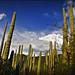 Cactus de Tehuaca?n-Cuicatla?n (Puebla, M�xico)