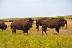 DSC_0633 (truelafan) Tags: southdakota buffalo south badlands prairie bison grassland dakota grazing