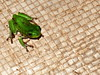 muddy little frog (I. Jackalope) Tags: animal wildlife amphibian frog cameroon aroundthehouse bamenda commonforesttreefrog leptopelisnotatus