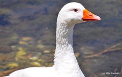DSC_0300 (rachidH) Tags: sea lake birds geese mediterranean hellas ducks goose greece waterfowl kefalonia canard oiseaux muscovy oie karavomylos rachidh melissany
