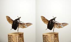 Rhomborrhina polita, stereo cross view (Mushimizu) Tags: inflight 3d cross stereo flowerchafer rhomborrhinapolita