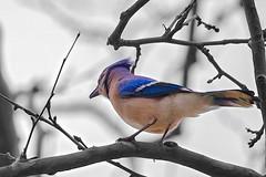 A Blue Jay #bird in #centralpark #manhattan #newyork #birds #colorsplash #bluejay (lelobnu) Tags: newyork bird birds centralpark manhattan bluejay colorsplash