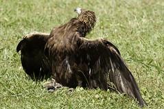 CFR0180 (Carlos F1) Tags: life parque wild bird animal spain nikon natural eagle aves raptor vida ave prey pajaro cantabria falconry pjaro aguila rapaz d300 cabrceno salvaje cetreria