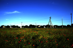 poppy fields (a_davydov_a) Tags: flowers red beautiful russia many poppy poppies fields russian krasnodar greass
