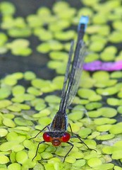 Small Red-eyed Damselfly (Erythromma viridulum), by Peter Alfrey