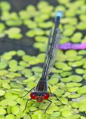 Small Red-eyed Damselfly (Erythromma viridulum), by Peter Alfrey