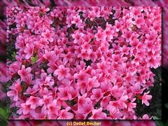 Azalea (Detlef_B) Tags: azalea bushes