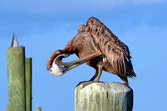Wing Grooming DSC_0542 (John Dreyer) Tags: bird nikon birding southcarolina pelican ornithology birdwatching brownpelican avian seabirds audubon lowcountry coastalcarolina caliboguesound nikond5100 photocreditjohnjdreyer copyright2014johnjdreyer