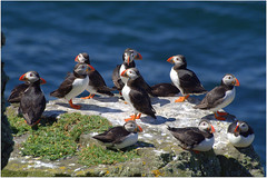 Circle of Puffins (eric robb niven) Tags: nature scotland dundee wildlife puffins anstruther seabirds isleofmay wildbird ericrobbniven pentaxk50