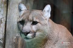 Puma Sonora 2014_08_29 054 (caren (Thanks for 1 Million+ views)) Tags: puma cougar tierfotografie tierparkhellabrunnmnchen carenpolarbears carenpolarbearsblogde pumakatzesonora