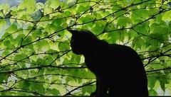 Le chat dans la vigne (Max Sat) Tags: cat chat feuille feuilles fuji fujixe1 green leaves moustiquaire vert unexplored