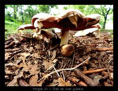 Hongos VII - Diaz de vivar gustavo (Diaz De Vivar Gustavo) Tags: parque naturaleza green mushroom argentina de eva buenos aires gustavo marron imagenes agaricus basidiomycota diaz hongos ranelagh hajduk agaricales vivar