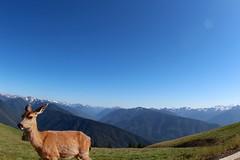 The deer and the Oylmpics Mountains overlook (daveynin) Tags: sky mountain animal fur mammal nps deer clear olympic overlook deaftalent deafoutsidetalent deafoutdoortalent