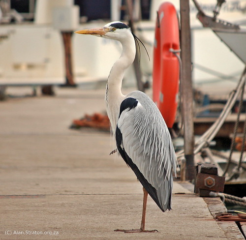 "Heron • <a style=""font-size:0.8em;"" href=""http://www.flickr.com/photos/99242810@N02/15060276997/"" target=""_blank"">View on Flickr</a>"