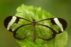 Greta Oto (wings open) (Rene Mensen) Tags: macro butterfly nikon transparent vlindertuin gretaoto glasswinged glasvleugel d5100