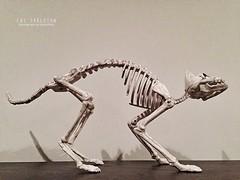 Halloween Cat Skeleton (Marcellina.) Tags: holiday halloween animal cat skeleton feline decoration cellphone bones decor iphone 2014 iphone5