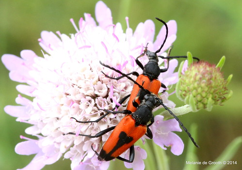 Leptura Beetles Mating 2