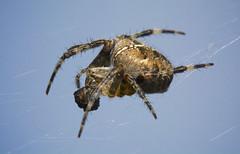 Today's Spider Snack ;-) (dangerousdavecarper) Tags: uk garden spider cross eating orb