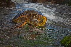 Turtle (aaron_boost) Tags: hawaii oahu turtle northshore honu aaronboost