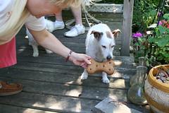 Eddies Bone (Ebiker) Tags: dog ontario canada cute fun big jrt cookie play eat jackrussell bichonfrise eddie speedster crystalbeach