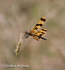 Dragonfly.jpg (Jordan de Jong) Tags: nature animal fauna insect dragonfly wildlife australia brisbane jordan queensland invertebrate dejong odonata minibeast goldcreekreservoir