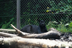 (Y.UTU) Tags: animal zoo sony leopard  panther    fujisafaripark 7      ilce7 blackpanthar
