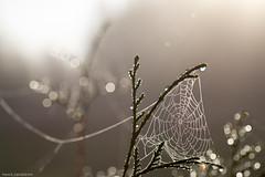 IMG_9334.jpg (Henrik.Sandstream) Tags: 1000v100f bokeh flickrfriday morning mist raindrops