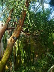 Im Gewächshaus-Dschungel - Bleistiftstrauch (Euphorbia tirucalli); Queen Elizabeth Park - Bloedel Floral Conservatory, Vancouver (23) (Chironius) Tags: canada vancouver britishcolumbia kanada euphorbiaceae rosids malpighiales wolfsmilchgewächse malpighienartige fabids