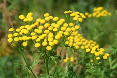 Common Tansy (jclegill) Tags: wildflower commontansy