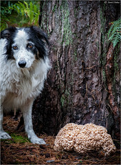 Master... I've found your brain (Robots are Stupid) Tags: wood uk greatbritain autumn england dog fall mushroom pine rural forest woodland sussex countryside nationalpark flora collie westsussex unitedkingdom britain wildlife sheepdog fungi naturereserve fungus harvey heath doggy bordercollie forestfloor edible shrooms southdowns englishcountryside pinewood forage midhurst countrylife heathland britishcountryside rurallife colliedog foraging workingdog stedham ruralengland cauliflowerfungus downland iping ediblemushroom sparassiscrispa sussexwildlifetrust ruralsussex woodlandfloor tokina100mm ediblefungi d700 tokina100mmf28atxprod brainfungus ipingcommon ediblefungus nikond700 stedhamcommon collieflower pinewoodland fitzhall southdownsnationalpark woodcauliflower fitzhallheath groundfungus elstedroad daviddalley davidjdalley stedhamwithiping horribleharvey