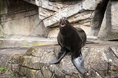 Californian sea lion (Cloudtail the Snow Leopard) Tags: zoo basel tier animal mammal säugetier robbe seal kalifornischer seelöwe californian sea lion zalophus californianus cloudtailthesnowleopard