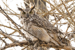 March 1, 2017 - An owl keeps close watch in Thornton. (Tony's Takes)