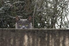 Bleigny - 29 décembre 2016-45 (bebopeloula) Tags: 2016 89 bleignylecarreau bourgogne europe faune france nikond700 yonne animaux chat givre hiver mammifères supershot photo robert crosnier