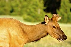 Jasper National Park, Canada (leo_li's Photography) Tags: deer 鹿 parcnationaljasper jaspernationalpark alberta canada 加拿大 亞伯達省 canadianrockymountains rockymountains 洛磯山脈 野生動物 wildlife 亞伯達 艾伯塔省 艾伯塔