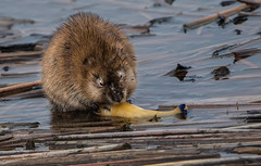 Sushi  Lunch (jackalope22) Tags: muskrat lunch dining carp mash rat fur