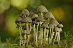 Tiny mushroom cluster at Mona Vale (Yani Dubin) Tags: d7000 monavale green autumn gimp fungus fungi bokeh brown color christchurch newzealand mushroom tokinaaf100mmf28macro canterbury darktable colour macrophotography macro bokehlicious white nature