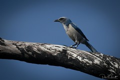 Florida Scrub Jay (1 of 1)-2 (DavidGuscottPhotography) Tags: scrubjay