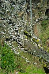 _DSC8802 (aeschylus18917) Tags: danielruyle aeschylus18917 danruyle druyle ダニエルルール japan 日本 kyushu 九州県 miyazaki 宮崎県 prunusmume plum blossoms 80400mm flowers