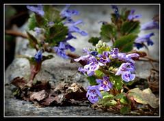 Gundermann (karin_b1966) Tags: blume flower blüten blossom pflanze plant wildblume wildflower garten garden natur nature 2017 gundermann yourbestoftoday