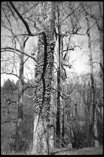 forest, trees, one ivy-covered, cast shadows, Biltmore Estate, Asheville, NC, Bencini Koroll 24S, Rollei Superpan 200, Kodak TMax Developer, early March 2017