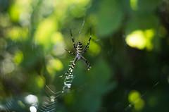 wasp spider (ΞSSΞ®®Ξ) Tags: ξssξ®®ξ pentax k5 summer 2016 lazio italy green yellow smcpentaxm50mmf17 dof waspspider depthoffield bokeh argiopebruennichi