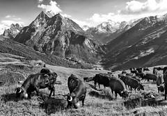 The open highlands of Hérens (Karl Le Gros) Tags: alpagedeslachiores cantonduvalais switzerland valldhérens vachesdhérens 2013 nikond300 swissalps 澤維爾·馮·埃拉赫