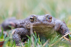Crapaud commun (Bufo bufo) (aurelien.ebel) Tags: alsace amphibians amphibien amphibiens animal basrhin bufobufo bufonidae commontoad crapaudcommun france lawantzenau