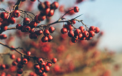 Berries (Inka56) Tags: berries 7dwf flora nature red